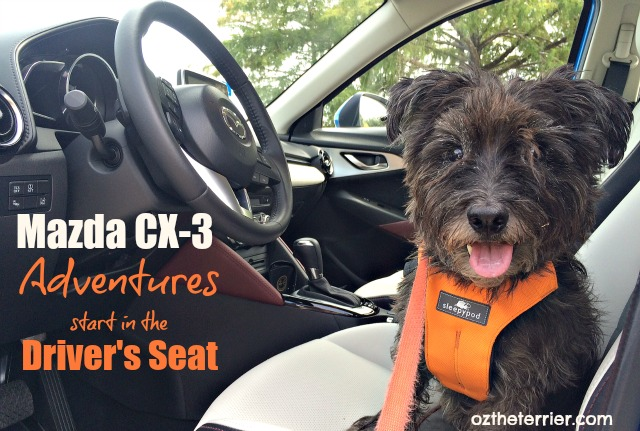 Oz the Terrier in Mazda CX-3 where adventures start in the driver's seat