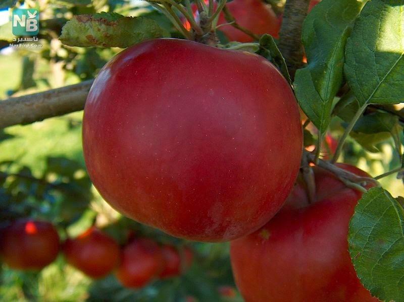 قصة التفاحة (والد الامام ابو حنيفة)