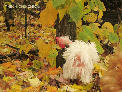 Chicken Feather Loss & Cannibalism: Causes & Solutions