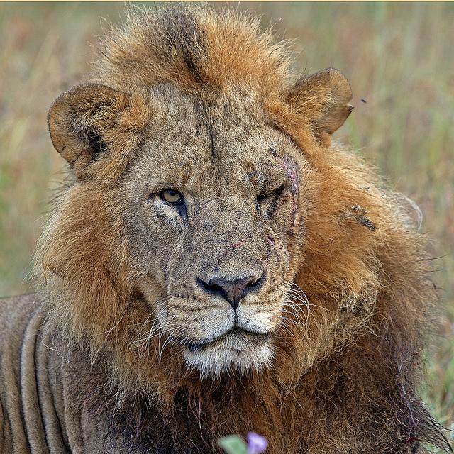 Ранен Лъв