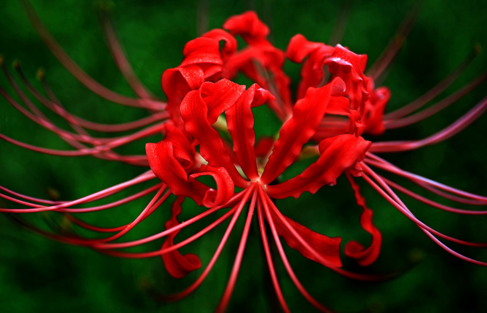 Southern lagniappe the elusive spider lilies izmirmasajfo Image collections