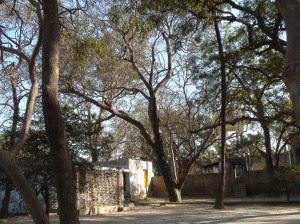 Trees at Tatiya Sthan Vrindava 2