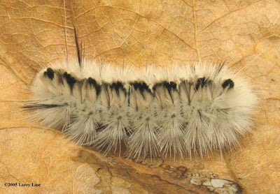 The Hickory Tussock Caterpillar