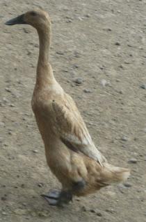 bebek Turi bebek lokal unggul dari Bantul