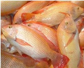 Danipez s a s marco teorico for Proyecto de piscicultura mojarra roja