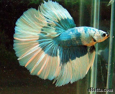 Nature 39 s beauty betta fish for Easy to take care of fish