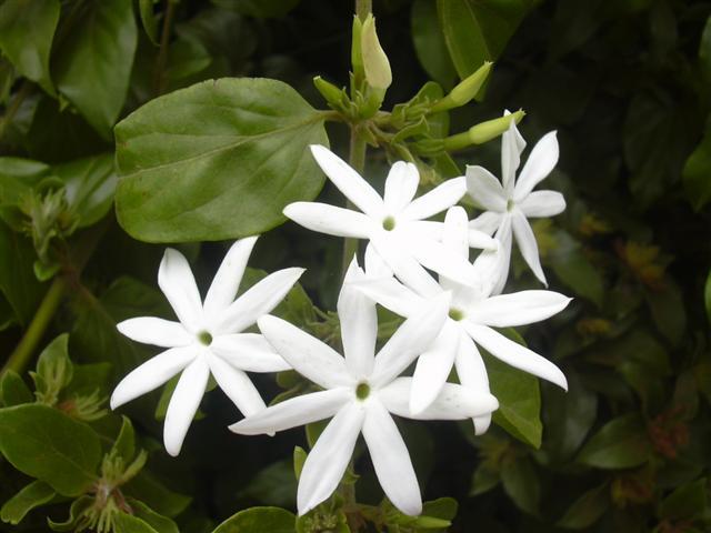 Piante e fiori gelsomino jasminum - Fiori gialli profumati ...