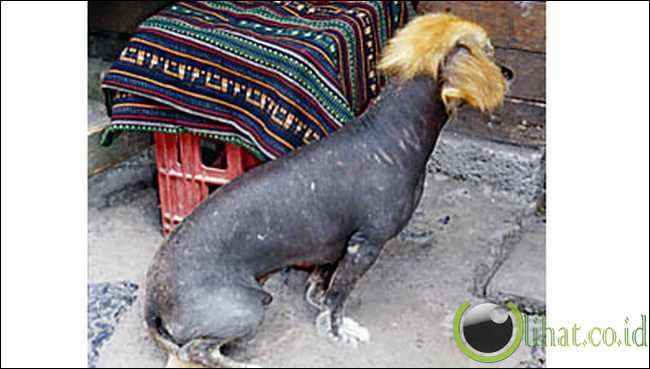 Srigala Andean