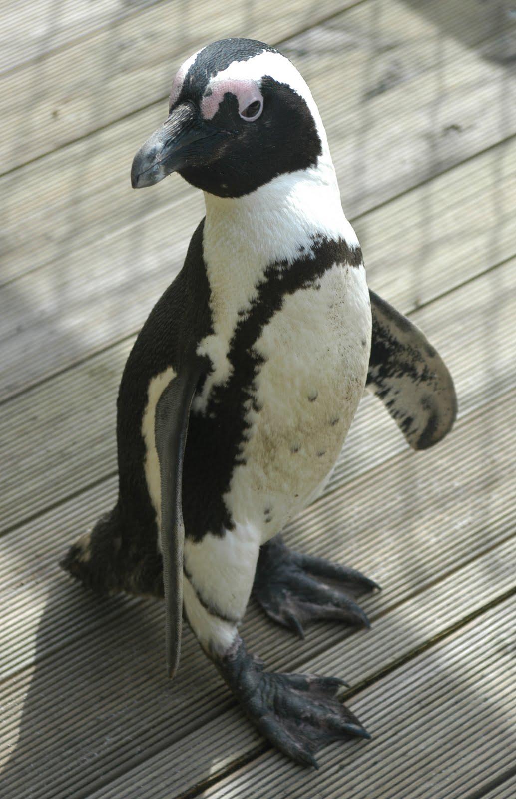 http://1.bp.blogspot.com/-cXFKJVcbAyU/TjmOgXezyAI/AAAAAAAAAOo/oDReDoCaRm4/s1600/Penguin+Wallpapers+11.jpg