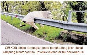 Lembu Tersangkut Pada Penghadang Jalan