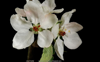 http://wallpaper-4k-tapety.blogspot.com/2015/03/jabon-ozdobna-dolgo-kwiaty-malus-flowers.html