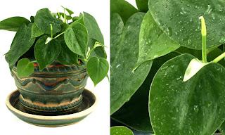 A cura plantas de interiores e seus efeitos terap uticos for Planta filodendro