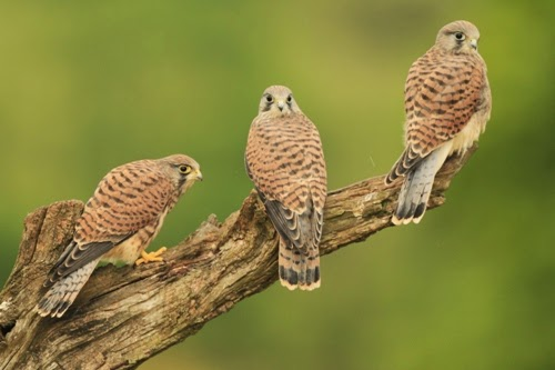 I Tie Mice Or Day Old Chicks A By Product Of The Egg Industry To This Branch In Garden And Then Sit Back Watch As Adult Kestrels Bring Their