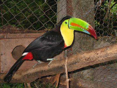 Ramphastos sulfuratus in Nicaragua