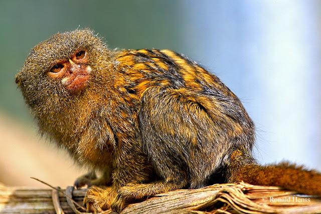 Tiere, Tierfotos Affen Zwergseidenäffchen