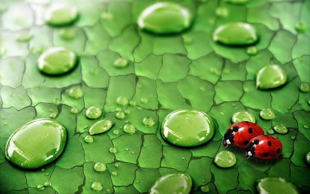Animal photo with two ladybugs walking on a leaf with water drops