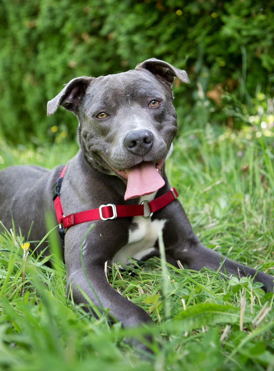 Good Pitbull Chubby Adorable Dog - 559044a5  Picture_711389  .jpg