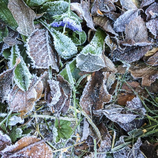 löv, blåklocka