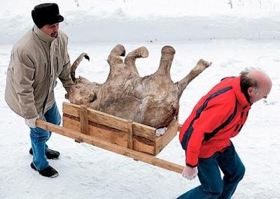 mamut bebe encontrado en rusia