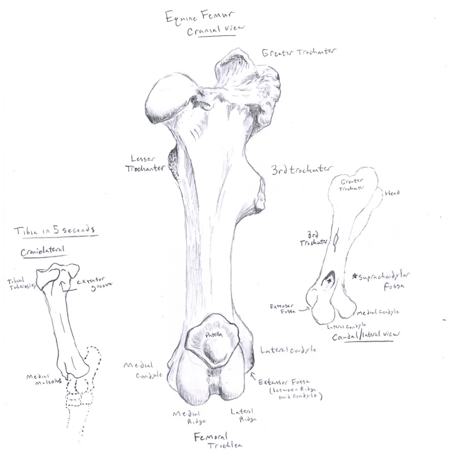 Chuck Does Art: Equine Osteology: Femur