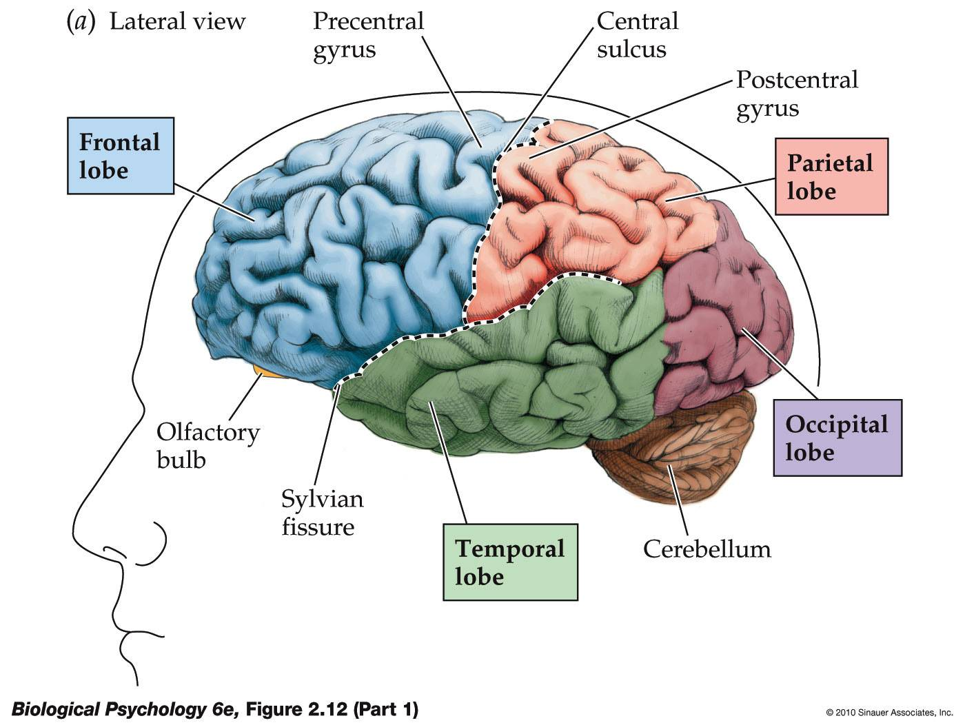 About brain parts and functions 2007