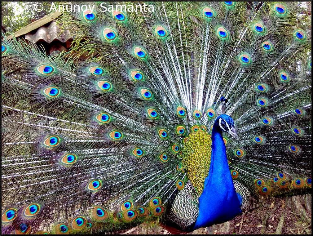 A Peacock of Garh Mandaran on display