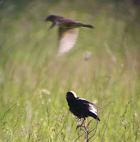 Bobolinks