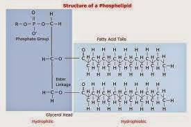 Fosfolipid