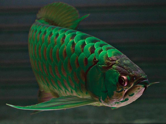 Sri lankan arowana fish for Expensive koi fish for sale