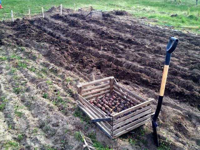 Villa Natura ekologiskt lågenergihus Österlen potatis odling