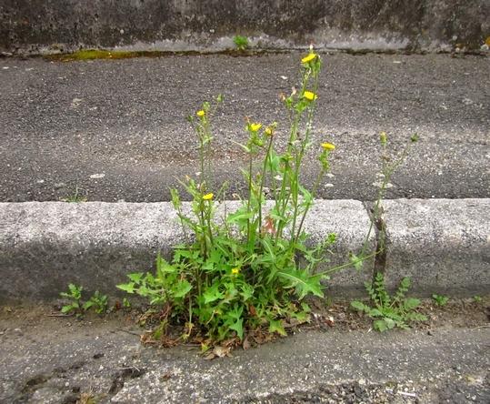 Plantes des jardins et des chemins sauvages de ma rue for Plantes et jardins adresse