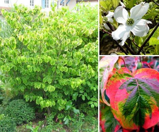 Zaj mav stromky ke e a pop navky do st nu vysn n zahrada - Cornus florida rainbow ...