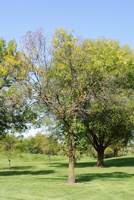 Tree with Emerald Ash Borer