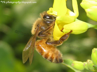 Honey Bee picture