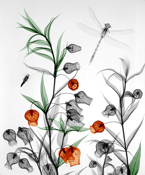 12-Sandersonia-Arie-van-t-Riet-Colored-X-ray-Photographs-of-Nature-www-designstack-co