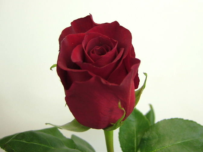different types of roses - photo #2