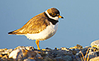 Semipalmated plover in Alaska (Credit: Wikimedia Commons)