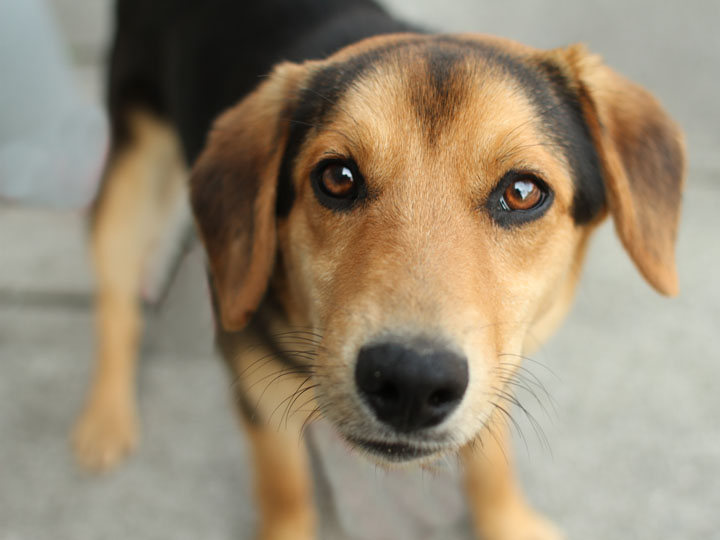 Dexter - German Shepherd Beagle mix