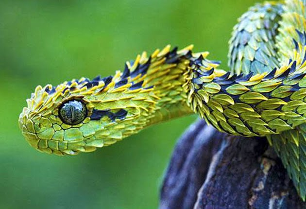 sepriente Atheris