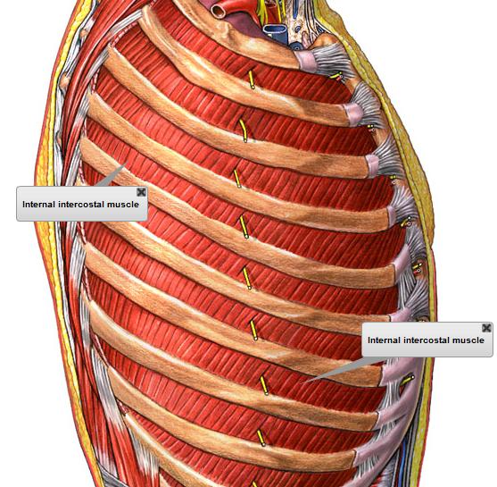 Musculos respiratorios practica 2 for Interno s