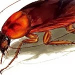 4 Tips to Eradicate Cockroaches Using Boric Acid