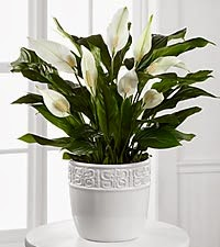 Calming grace peace lily plant starting
