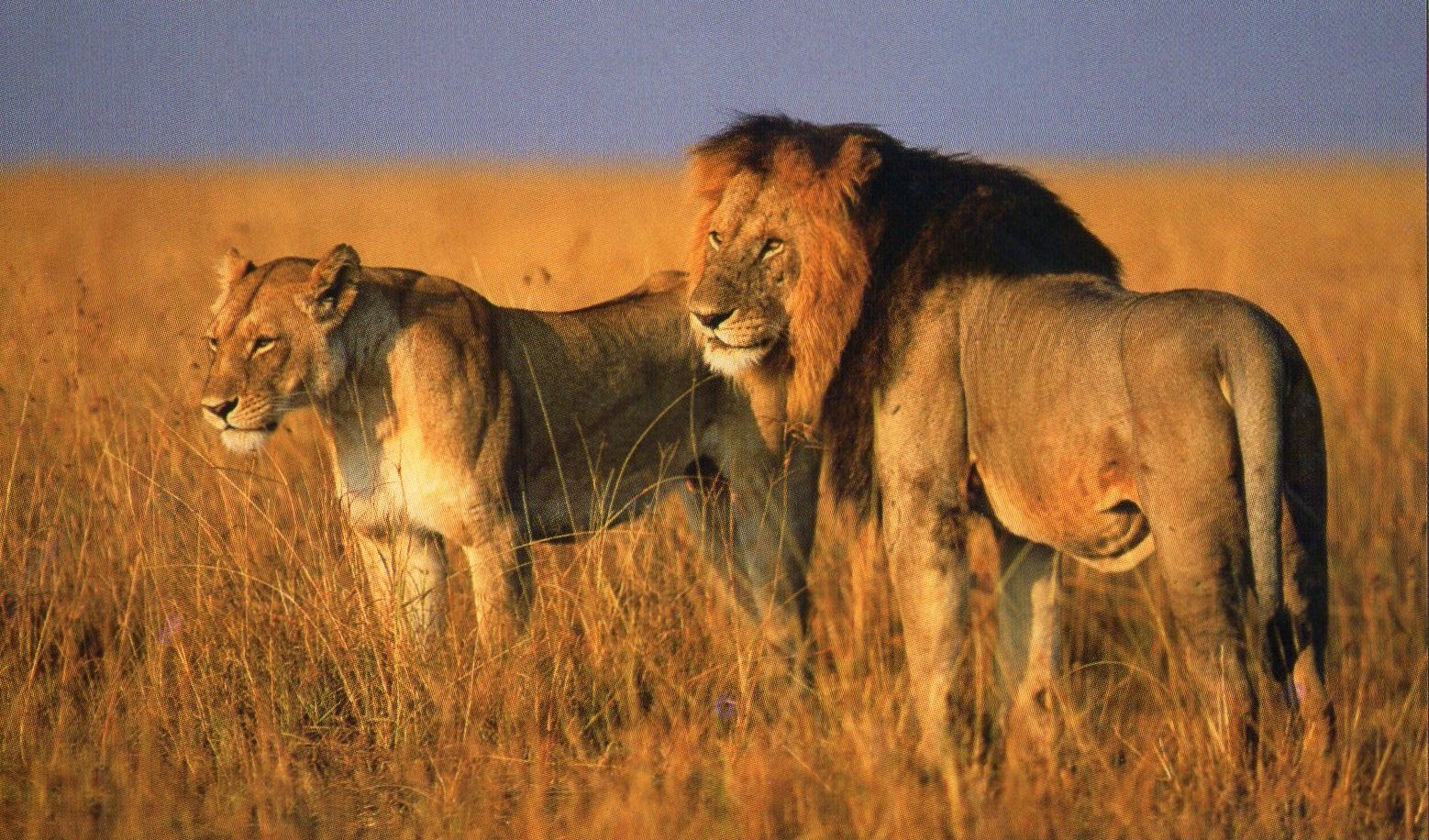 kenya lions Illumination in Kenya Villages  Kenya s Greatest Asset