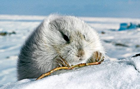 "case study the arctic national wildlife The 196-million-acre arctic national wildlife refuge, in the northeast  the law  authorized seismic studies in the ""1002 area,"" but left its ultimate fate  in the  case of the single unsuccessful well drilled in anwr in the 1980s,."