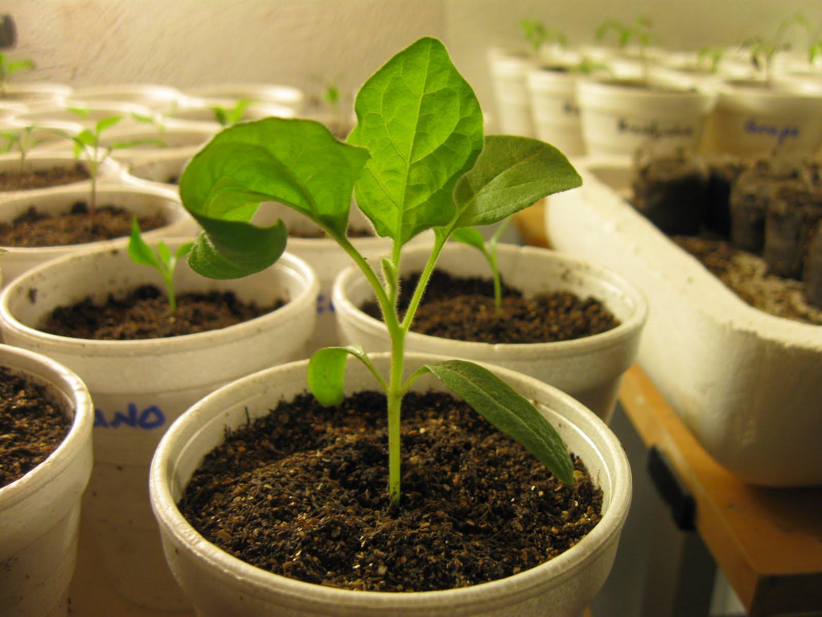 Выращиваем рассаду баклажанов из семян: секреты дачников 2