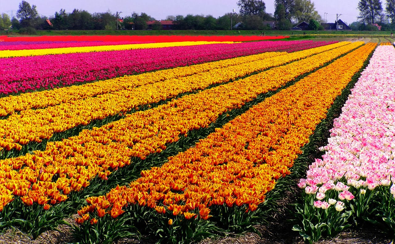 Beautiful Tulip Fields Is The Best Places To Travel Holland Beautiful Traveling Places