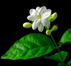 Manfaat Kandungan Bunga Melati