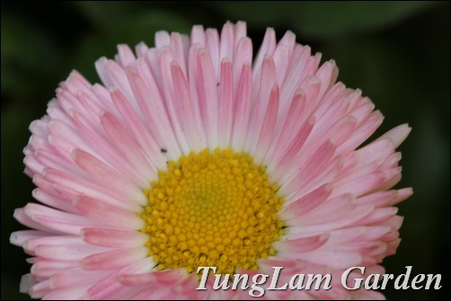 Bán Cúc Daisy, hoa cúc Daisy, Daisy, hoa chậu, hoa tết