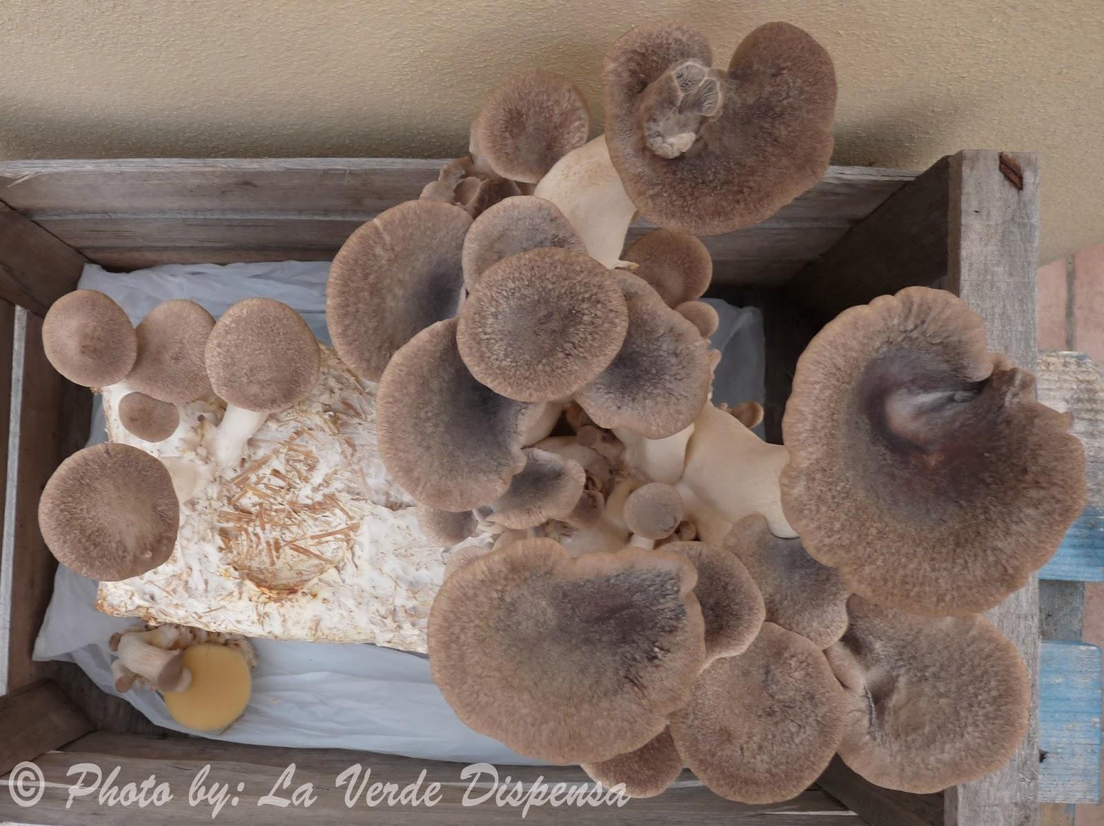 la verde dispensa come coltivare i funghi a casa