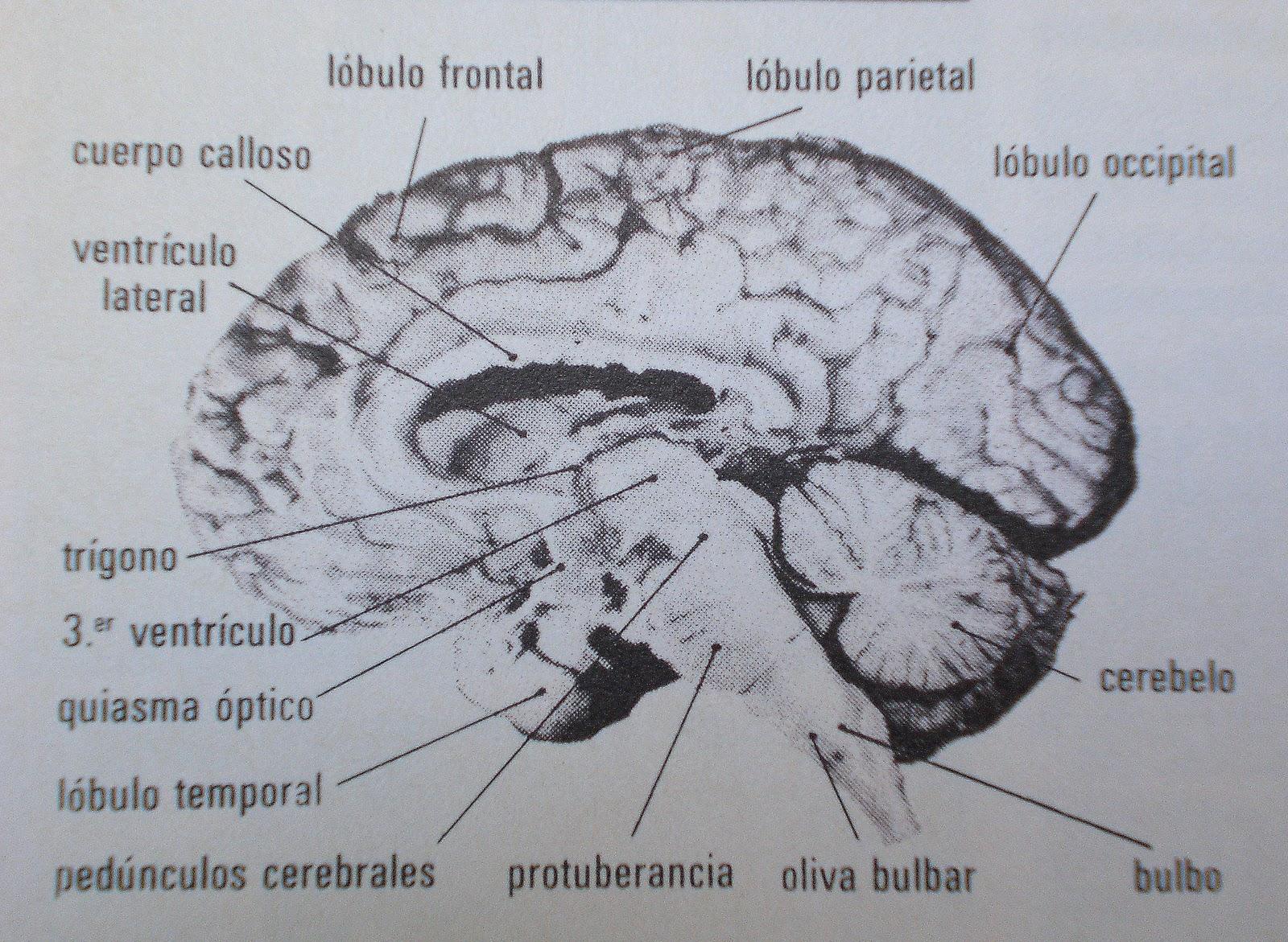 ... pintura se hallaría representado el hemisferio derecho del cerebro